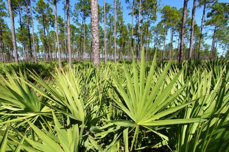 Palma sabałowa - właściwości lecznicze, sposób przyjmowania i przeciwwskazania